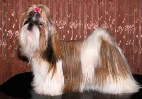 ТОП 15 небольших пород собак - названия, фото, размеры и краткое описание 3