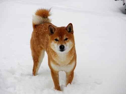ТОП 10 пород собак подходящих для квартиры - маленькие, средние и крупные 7