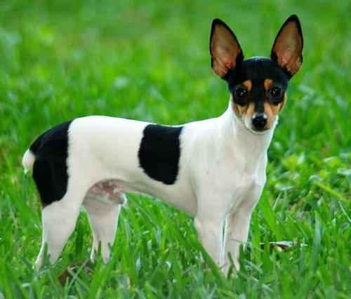ТОП 15 небольших пород собак - названия, фото, размеры и краткое описание 12