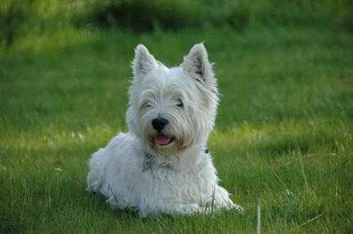 ТОП 15 пород собак с белой шерстью - названия, фото и краткое описание 10