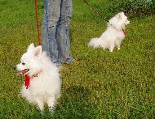 ТОП 15 пород собак с белой шерстью - названия, фото и краткое описание 11