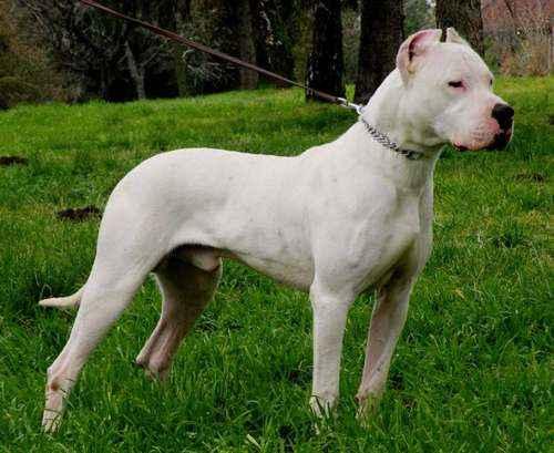 ТОП 15 пород собак с белой шерстью - названия, фото и краткое описание 5