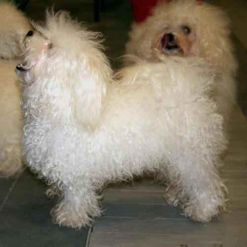 ТОП 15 пород собак с белой шерстью - названия, фото и краткое описание 8