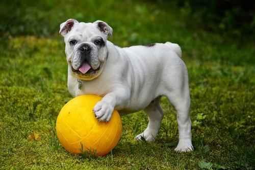 ТОП 15 пород собак с белой шерстью - названия, фото и краткое описание 4