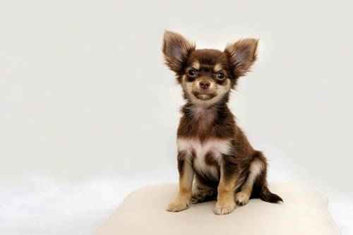ТОП 15 небольших пород собак - названия, фото, размеры и краткое описание 16
