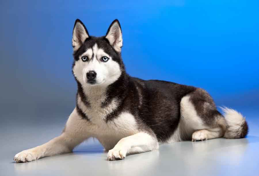 Породы средних собак с фотографиями и названиями, небольших размеров для квартиры, спокойные, подходящие для детей