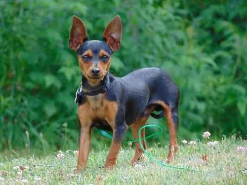 Самая маленькая в мире собака: порода, цена 3