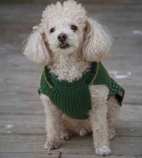 ТОП 15 небольших пород собак - названия, фото, размеры и краткое описание 4