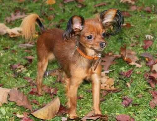 ТОП 15 небольших пород собак - названия, фото, размеры и краткое описание 15