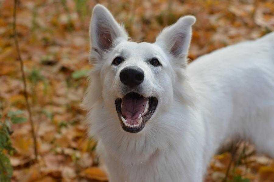 Белая собака с рыжими пятнами порода