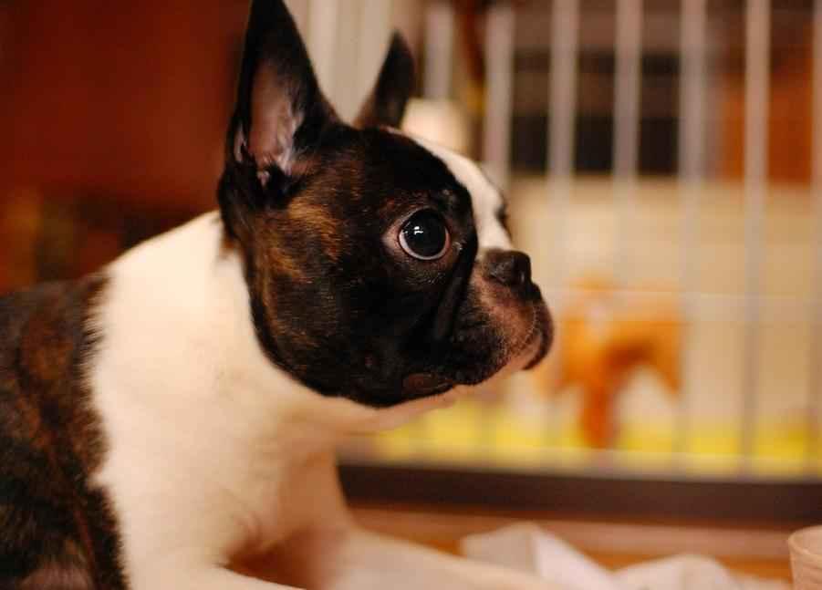 Самые лучшие породы для квартиры собак