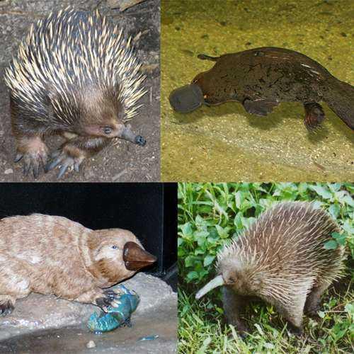 Отряд однопроходные или клоачные млекопитающие - описание, признаки, представители и фото 4