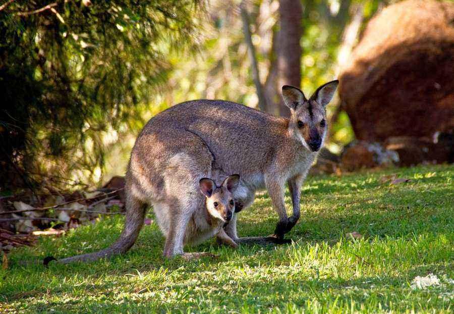 Сумчатые животные Австралии кто относится к этому виду