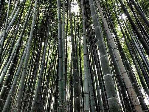 Растения Японии: характеристика и фото 2