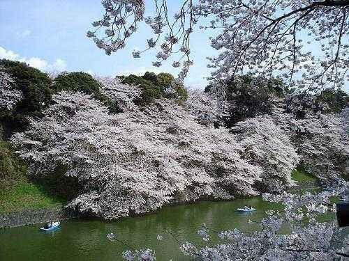 Растения Японии: характеристика и фото 7