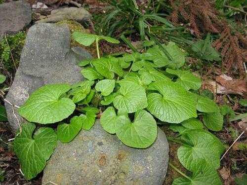 Растения Японии: характеристика и фото 6