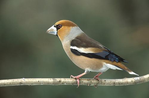 Какие птицы зимой улетают на юг: названия, фото и краткое описание перелетных видов птиц 5