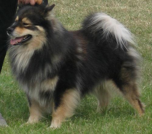 ТОП 10 очень редких пород собак в мире - названия, фотографии и характеристика 10