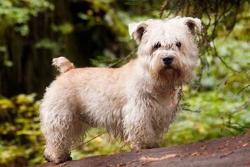 ТОП 10 очень редких пород собак в мире - названия, фотографии и характеристика 2