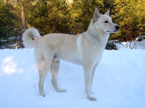 ТОП 10 очень редких пород собак в мире - названия, фотографии и характеристика 11