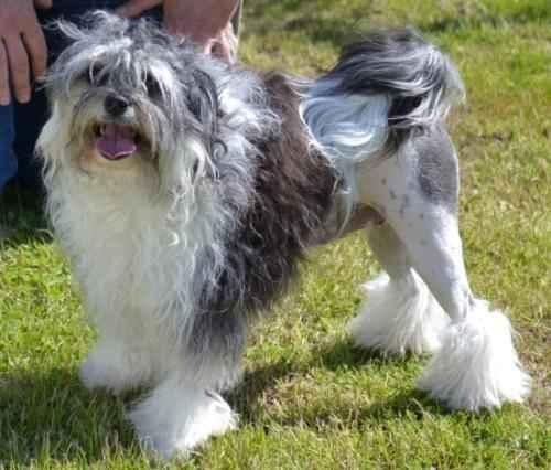 ТОП 10 очень редких пород собак в мире - названия, фотографии и характеристика 6