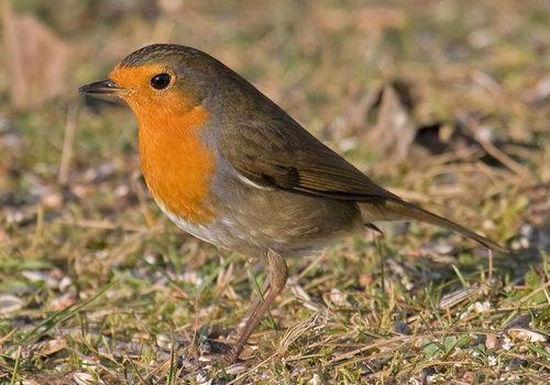 Какие птицы зимой улетают на юг: названия, фото и краткое описание перелетных видов птиц 12