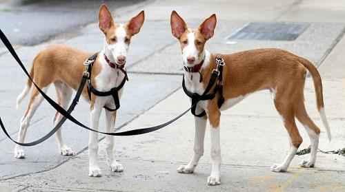 ТОП 10 очень редких пород собак в мире - названия, фотографии и характеристика 9