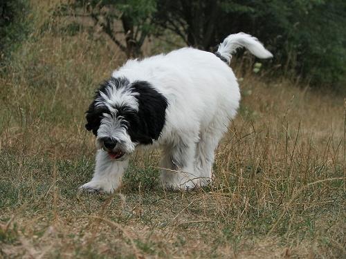 ТОП 10 очень редких пород собак в мире - названия, фотографии и характеристика 8