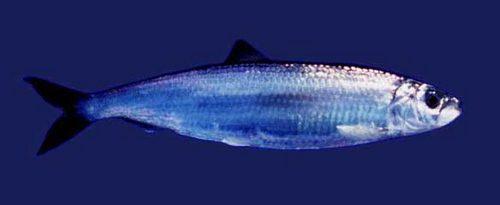 Промысловые виды рыб: названия, фото и характеристика 20