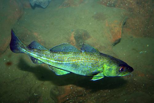 Промысловые виды рыб: названия, фото и характеристика 3