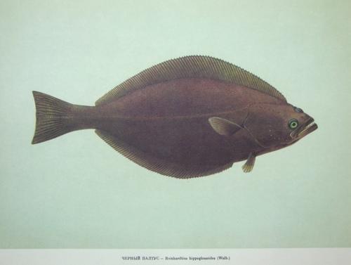 Промысловые виды рыб: названия, фото и характеристика 14