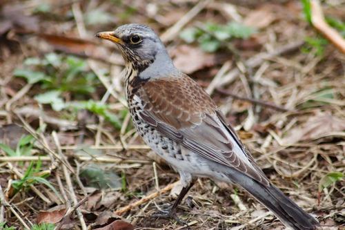 Зимующие (оседлые) и кочующие птицы: список видов, названия, фото и характеристика 7