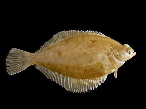 Промысловые виды рыб: названия, фото и характеристика 15