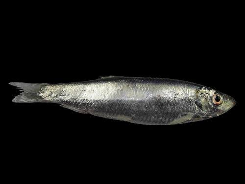 Виды северной рыбы
