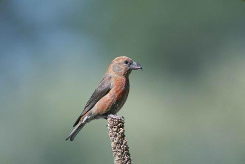 Зимующие (оседлые) и кочующие птицы: список видов, названия, фото и характеристика 9