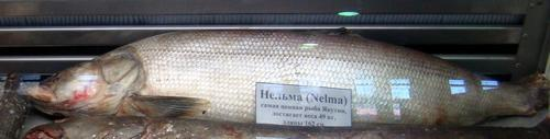Промысловые виды рыб: названия, фото и характеристика 13