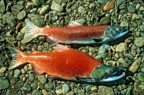 Промысловые виды рыб: названия, фото и характеристика 11