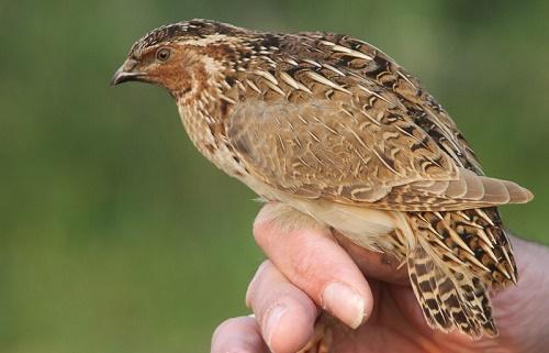 Ядовитые виды птиц: названия, характеристика и фото 2