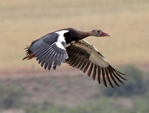 Ядовитые виды птиц: названия, характеристика и фото 3