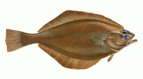 Промысловые виды рыб: названия, фото и характеристика 16