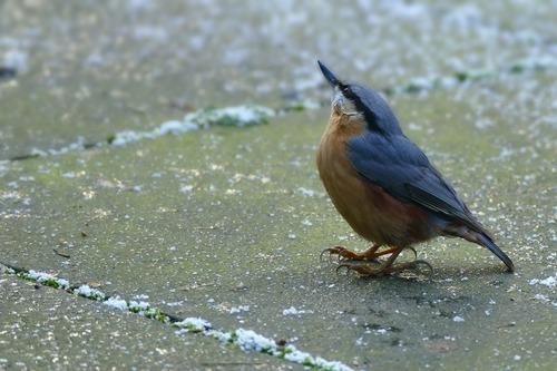 Зимующие (оседлые) и кочующие птицы: список видов, названия, фото и характеристика 11