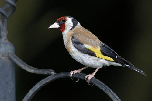 Зимующие (оседлые) и кочующие птицы: список видов, названия, фото и характеристика 21