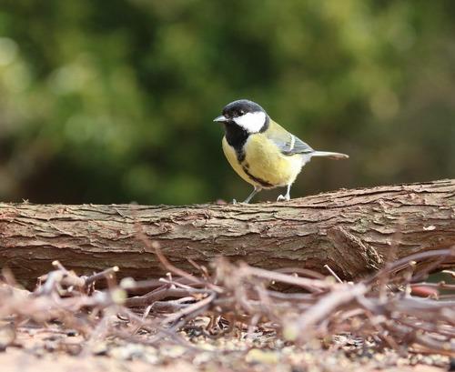 Зимующие (оседлые) и кочующие птицы: список видов, названия, фото и характеристика 13