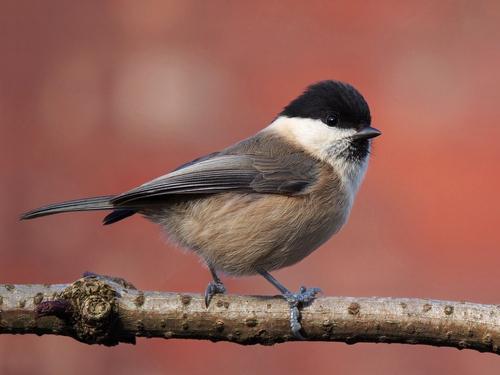 Зимующие (оседлые) и кочующие птицы: список видов, названия, фото и характеристика 17