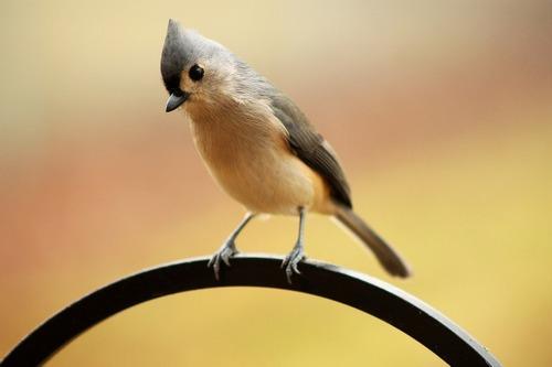 Зимующие (оседлые) и кочующие птицы: список видов, названия, фото и характеристика 14