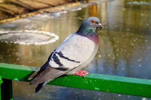 Зимующие (оседлые) и кочующие птицы: список видов, названия, фото и характеристика 22
