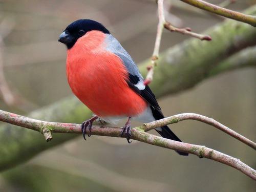 Зимующие (оседлые) и кочующие птицы: список видов, названия, фото и характеристика 18