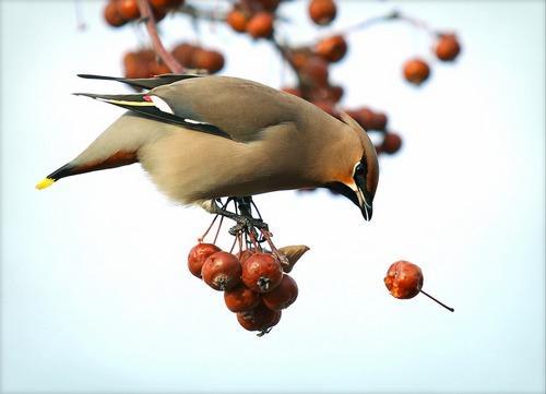 Зимующие (оседлые) и кочующие птицы: список видов, названия, фото и характеристика 12