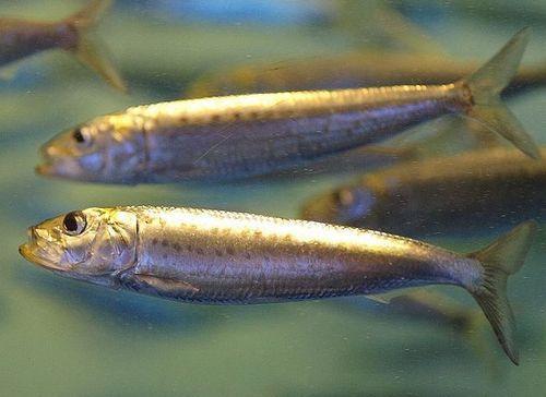 Промысловые виды рыб: названия, фото и характеристика 17