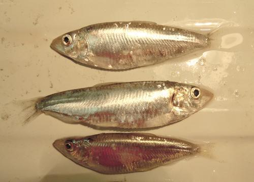 Промысловые виды рыб: названия, фото и характеристика 18